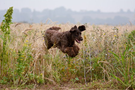 poodle mix: Cockapoo dog jumping through long grass