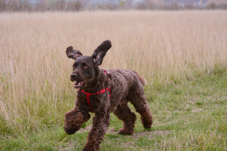 poodle mix: Cockapoo dog running and flapping ears