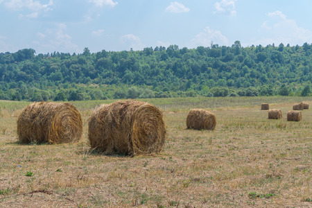 harvested: harvested field with straw bales
