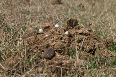 dung: Mushrooms growing in cow dung