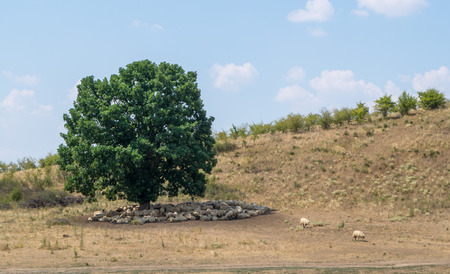 under a tree: Sheep resting under a tree