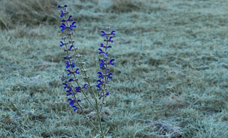 frosted: Frosted wild flower in autumn