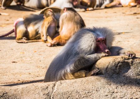 genitals: Close up shot of some baboons Stock Photo