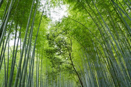 Bamboo tall trees background Stock Photo