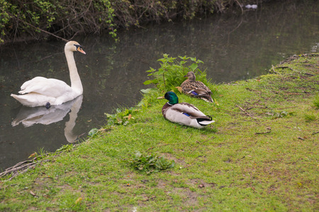 two ducks: a white swan in the river with two ducks on the river bank
