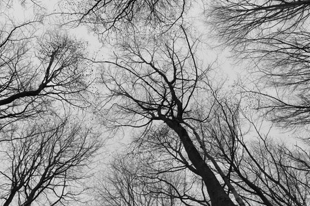 fine art: A black and white photo of trees in a forest with a perspective of looking up into the sky and isolate to see only the stem and branches of the trees in Europe  with a fine art vintage frame