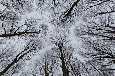 beautiful tree: A black and white photo of trees in a forest with a perspective of looking up into the sky and isolate to see only the stem and branches of the trees in Europe