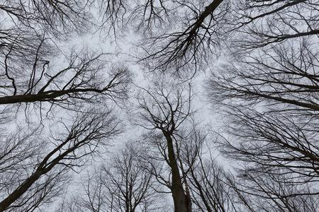 arboles blanco y negro: Una foto en blanco y negro de los árboles en un bosque con una perspectiva de mirar hacia el cielo y aislar a ver sólo el tallo y las ramas de los árboles en Europa Foto de archivo
