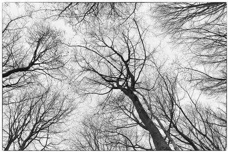 belgie: A black and white photo of trees in a forest with a perspective of looking up into the sky and isolate to see only the stem and branches of the trees in Europe
