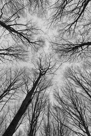 fine art: A black and white photo of trees in a forest with a perspective of looking up into the sky and isolate to see only the stem and branches of the trees in Europe with a fine art vintage frame Stock Photo