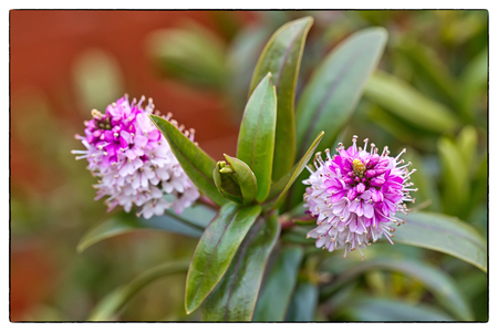 daphne: Variegated Hybrid Daphne, Daphnex Burkwoodii Carol Mackie
