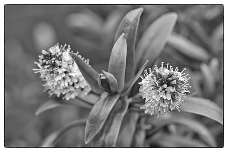 dafne: Variegato ibrida Daphne, Daphnex burkwoodii 'Carol Mackie'. Foto in bianco e nero con un bordo d'epoca