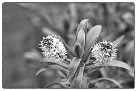 daphne: Variegated Hybrid Daphne, Daphnex Burkwoodii Carol Mackie. Black and white photo with a vintage border