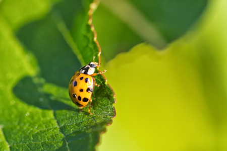 Close up of one yellow Ladybird beetle or a Ladybug on green leave, sunlight projecting long shadows of the insect