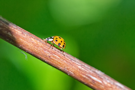 Close up of yellow Ladybird beetle or Ladybug on a branch with a green brackground, sunlight projecting long shadows of the insect Stock Photo