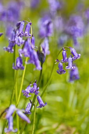 Belgium, Vlaanderen (Flanders), Halle. Macro photo of Bluebell flowers (Hyacinthoides non-scripta) carpet hardwood beech forest in early spring in the Hallerbos forest.