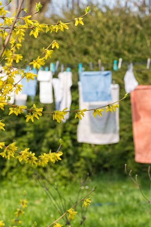 Yellow tree branch against a blurred background of Bright colored towels pegged to a washing line drying
