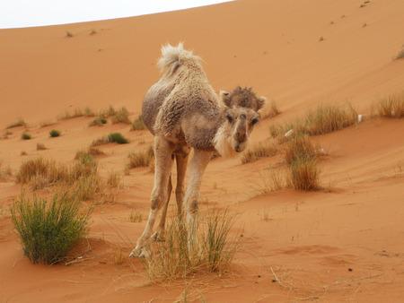 merzouga: Camel at Merzouga, Morocco
