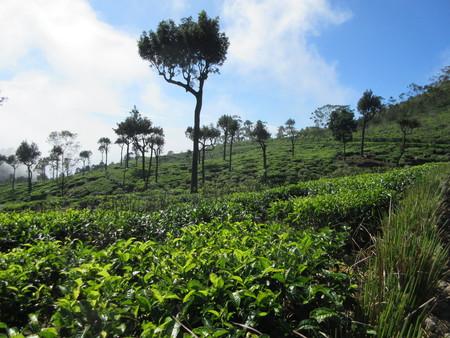 Tea plantation, Sri Lanka Reklamní fotografie