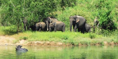 Elephants at Lake, Uda Walawe, Sri Lanka