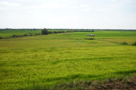 Rice field in Cambodia Stock Photo