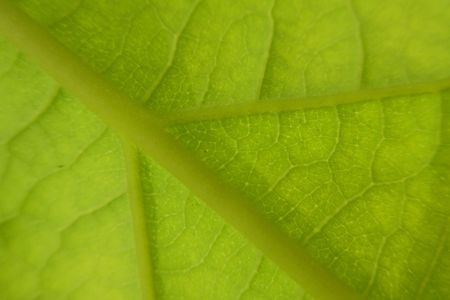 Green leaf of avocado tree, macro