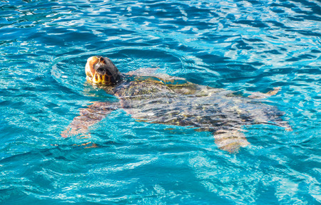 Big sea turtle Caretta spoted near Zakynthos island Stock Photo