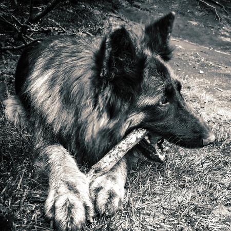The German Shepherd gnaws a stick. Dog.