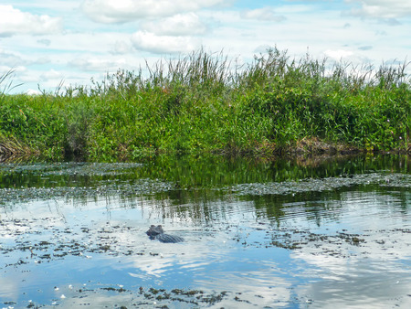 Yacare caiman in lake in Esteros del Ibera, Argentina. Stock Photo