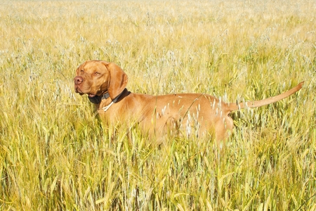 hungarian pointer: Hunting dog in the ripening grain. Hot summer day. Hungarian Pointer Viszla hunting. Electric dog collar.