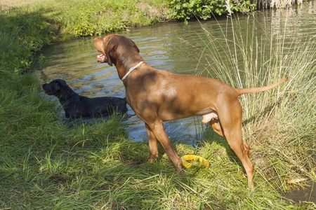 hungarian pointer: Hot summer day in rural pond. Hungarian hound Viszla standing wet in the pond. Wet dog in heat. Stock Photo
