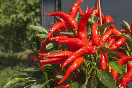 intense flavor: Domestic cultivation of red chilli peppers in a pot. Chilli peppers in the bushes on the iron gate. Ripe red hot chili peppers on a tree. Stock Photo
