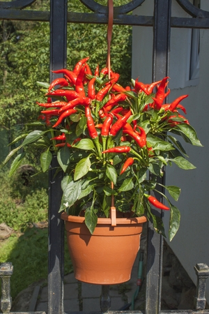 Domestic cultivation of red chilli peppers in a pot. Chilli peppers in the bushes on the iron gate. Ripe red hot chili peppers on a tree. Standard-Bild
