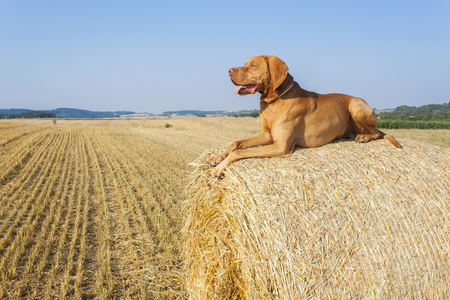 hungarian pointer: Hungarian Pointer Viszla on the harvested field on a hot summer day. Dog sitting on straw. Morning sunlight in a dry landscape. Stock Photo