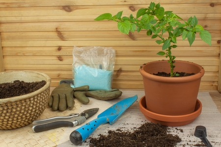 bushy plant: Spring works in the garden. Seedlings chilli peppers. Growing vegetables. Transplanting seedlings into pots. Chilies in a clay pot. Pepper seedlings and fresh chili pepper branch.