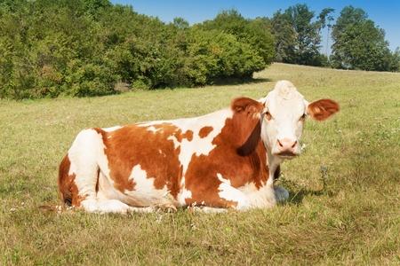 cow pasture: Lies on the cow pasture. raising stock on the farm Stock Photo