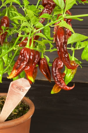 hottest: Spicy Hot Bhut Jolokia Ghost Peppers. Domestic cultivation extra hot chilli burn. Ghost Peppers on a Background. Capsicum Chinenses.