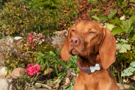 hungarian pointer: Hungarian hound. Dog look into the lens. Portrait of a Hungarian Vizla. Dogs eyes. Sunny day on the hunt.