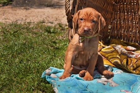 hungarian pointer: Hungarian hound puppy. Summer day dog ??family. Viszla Stock Photo