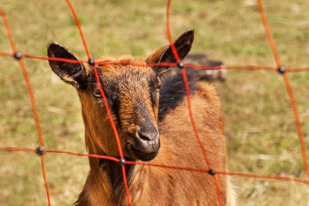 Electric fence in the pasture. Breeding sheep and goats on a farm Stock Photo