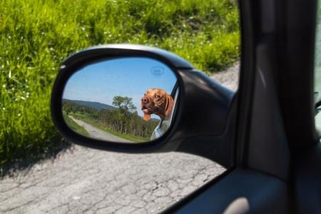 車のバックミラーの犬のビュー。犬は車の窓の外を見てします。ハンガリーのポインター ビズラ 写真素材