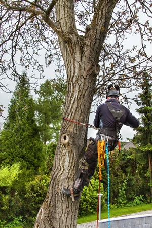 Arborist using a chainsaw to cut a walnut tree. Lumberjack with saw and harness pruning a tree Stock Photo