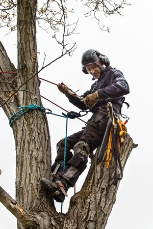 Arborist using a chainsaw to cut a walnut tree. Lumberjack with saw and harness pruning a tree Banco de Imagens