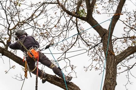 Lumberjack with saw and harness pruning a tree. Arborist work on old walnut tree Stockfoto