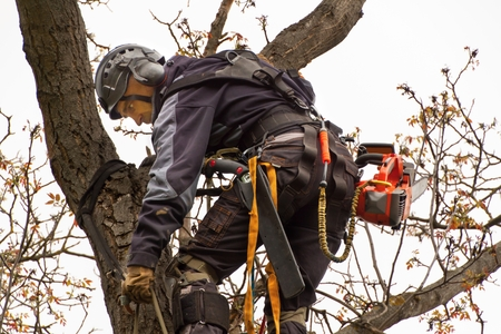 Lumberjack with saw and harness pruning a tree. Arborist work on old walnut tree Stok Fotoğraf