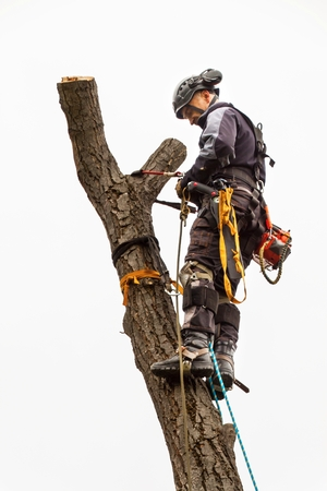 Lumberjack with saw and harness pruning a tree. Arborist work on old walnut tree Foto de archivo
