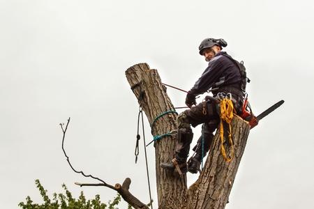 Lumberjack with saw and harness pruning a tree. Arborist work on old walnut tree Standard-Bild