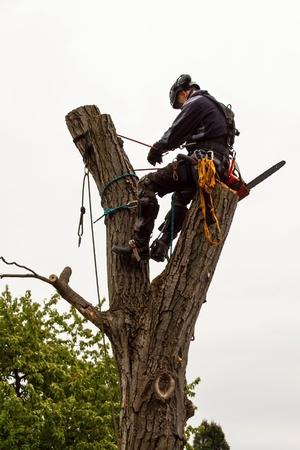 Leñador con sierra y arnés podando un árbol. Trabajo de arborista en nogal viejo Foto de archivo - 78758242
