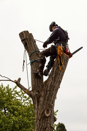 Lumberjack with saw and harness pruning a tree. Arborist work on old walnut tree Stock Photo