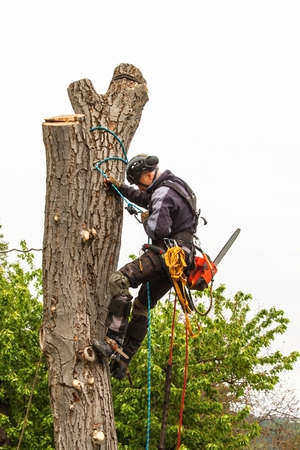 Lumberjack with saw and harness pruning a tree. Arborist work on old walnut tree Reklamní fotografie